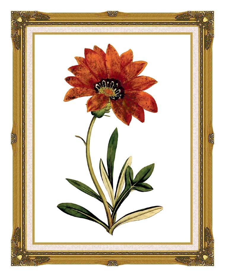 William Curtis Rigid-Leaved Gorteria with Museum Ornate Frame w/Liner