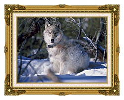 U S Fish And Wildlife Service Gray Wolf In Snow canvas with museum ornate gold frame