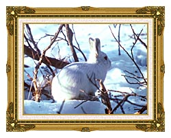 U S Fish And Wildlife Service Artic Hare Rabbit canvas with museum ornate gold frame