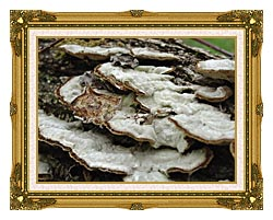 U S Fish And Wildlife Service Gray Shelf Mushrooms canvas with museum ornate gold frame