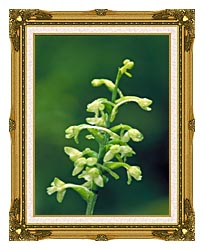 U S Fish And Wildlife Service Green Fringed Orchid canvas with museum ornate gold frame