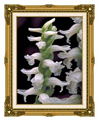 U S Fish And Wildlife Service Nodding Ladies Tresses canvas with museum ornate gold frame