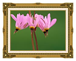 U S Fish And Wildlife Service Pink Shooting Star canvas with museum ornate gold frame