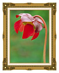 U S Fish And Wildlife Service Pitcher Plant canvas with museum ornate gold frame