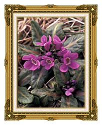 U S Fish And Wildlife Service Pribilof Wildflowers Primula canvas with museum ornate gold frame