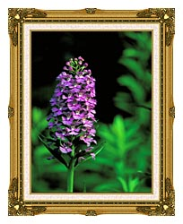 U S Fish And Wildlife Service Purple Fringed Orchid canvas with museum ornate gold frame