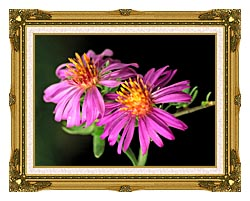 U S Fish And Wildlife Service Silky Aster canvas with museum ornate gold frame