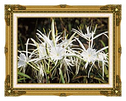 U S Fish And Wildlife Service Spider Lily canvas with museum ornate gold frame
