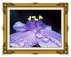 U S Fish And Wildlife Service Spider Wort Flower Art canvas with museum ornate gold frame