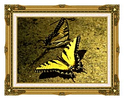 U S Fish And Wildlife Service Tiger Swallowtail Butterfly canvas with museum ornate gold frame