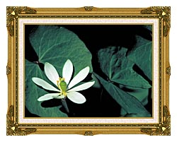 U S Fish And Wildlife Service Twinleaf canvas with museum ornate gold frame