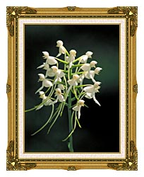 U S Fish And Wildlife Service White Fringeless Orchid canvas with museum ornate gold frame