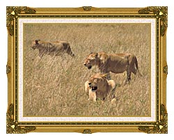 U S Fish And Wildlife Service African Lions canvas with museum ornate gold frame