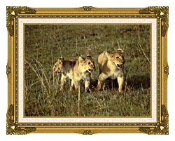 U S Fish And Wildlife Service African Lion Cubs canvas with museum ornate gold frame