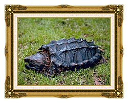 U S Fish And Wildlife Service Alligator Snapping Turtle canvas with museum ornate gold frame