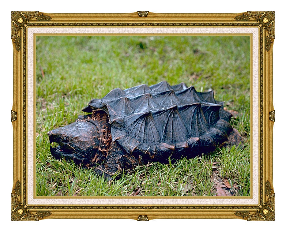 U S Fish and Wildlife Service Alligator Snapping Turtle with Museum Ornate Frame w/Liner