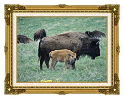 U S Fish And Wildlife Service Bison Cow And Calf canvas with museum ornate gold frame