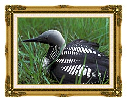 U S Fish And Wildlife Service Artic Loon canvas with museum ornate gold frame