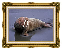 U S Fish And Wildlife Service Walrus canvas with museum ornate gold frame