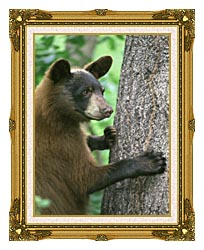 U S Fish And Wildlife Service American Black Bear canvas with museum ornate gold frame