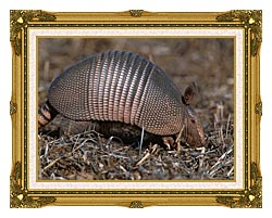 U S Fish And Wildlife Service Armadillo canvas with museum ornate gold frame