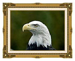 U S Fish And Wildlife Service U S A Bald Eagle canvas with museum ornate gold frame