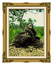 U S Fish And Wildlife Service Bald Eagle Chick canvas with museum ornate gold frame