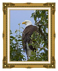U S Fish And Wildlife Service Bald Eagle On Tree Branch canvas with museum ornate gold frame