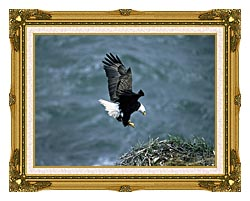 U S Fish And Wildlife Service Bald Eagle Landing On Nest canvas with museum ornate gold frame