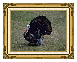 U S Fish And Wildlife Service Eastern Wild Turkey canvas with museum ornate gold frame
