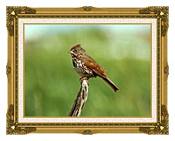 U S Fish And Wildlife Service Fox Sparrow canvas with museum ornate gold frame