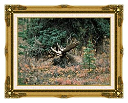 U S Fish And Wildlife Service Bull Moose canvas with museum ornate gold frame
