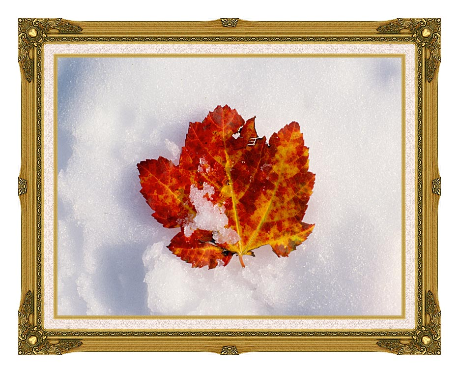 Visions of America Red Maple Leaf in Snow, Acadia National Park, Maine with Museum Ornate Frame w/Liner