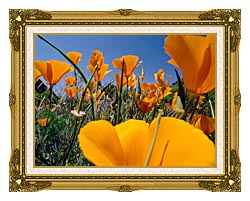 Visions of America Close Up Of California Poppies Blooming In Springtime canvas with museum ornate gold frame
